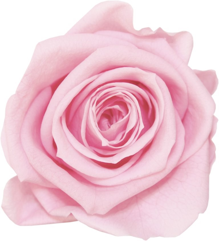 Meaning of pink roses pink roses are common in the wild probably the reason they were the first roses to be cultivated by early horticulturalists pink roses are found in the mightylinksfo