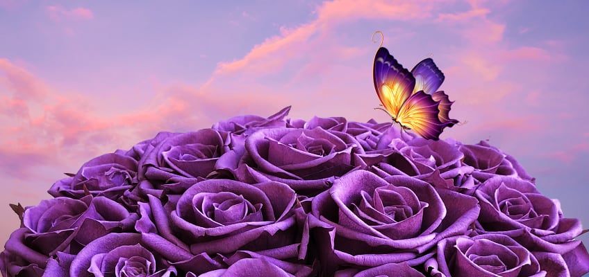 a bouquet of long lasting purple roses with a butterfly and the sky in the background
